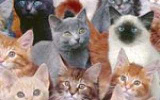 Какие породы кошек бывают: название редких котов, классификация по длине и типу шерсти