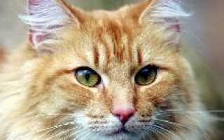 Норвежская лесная кошка: история породы, характеристики, фото, уход и содержание