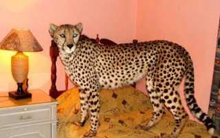 Пятнистые кошки: список пород диких и домашних котов, фото, отзывы владельцев