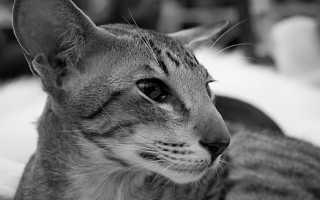 Ориентальная кошка: описание породы, содержание и уход, фото, выбор котенка