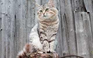 До какого возраста растут коты и кошки, что влияет на темпы роста животных, отзывы ветеринаров