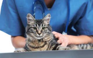 Кастрация кота: когда (в каком возрасте) можно кастрировать питомца, плюсы и минусы процедуры