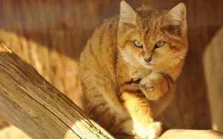 Бархатный кот: внешний вид, среда обитания, особенности поведения и питания