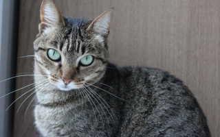 Лейкоз у кошек: причины, основные симптомы заболевания