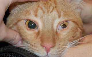 Болезни глаз у кошек: фото симптомов, диагностика и лечение