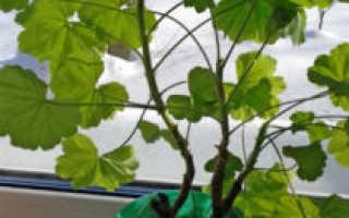 Обрезка и подкормка герани весной для пышного цветения