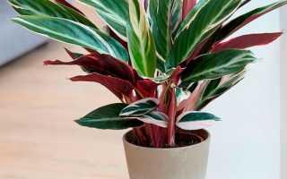 Строманта: все нюансы ухода за растением в домашних условиях + фото и видео