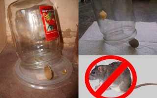 Как поймать крысу, сделать крысоловку своими руками из бутылки или другими способам