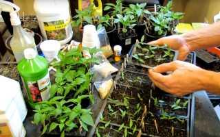 Выращивание рассады перца в домашних условиях: когда сажать по лунному календарю