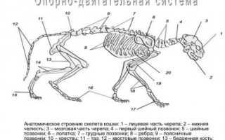 Анатомия кошки и кота: особенности строения тела, зачем животному хвост и другие интересные факты