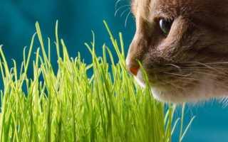 Трава для кошек: виды, польза, как вырастить ее в домашних условиях, какую лучше выбрать