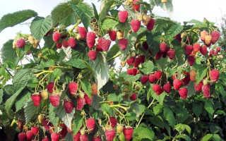 Малиновое дерево Таруса: посадка и уход, описание и характеристика сорта малины