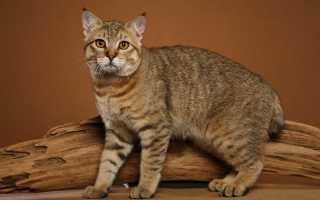 Пиксибоб: особенности и история породы, характер и уход за кошкой, фото