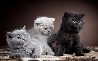 Черный британец: особенности породы, характер и уход за котом, фото, выбор котенка
