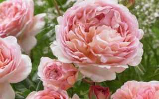 Английская роза Абрахам Дерби: описание, отзывы, фото, посадка и уход