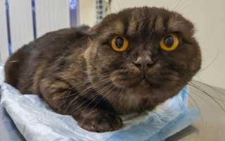 Кот или кошка писает кровью: причины появления кровяной мочи у котят и взрослых животных