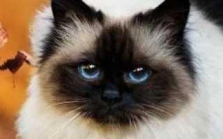 Бирманская кошка: происхождение породы, внешние особенности, фото священного кота