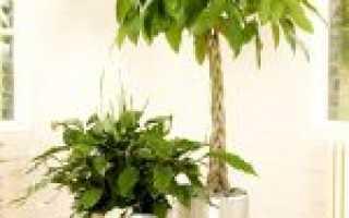 Пахира: все нюансы ухода за растением в домашних условиях + фото и видео