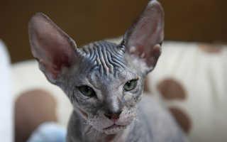 Лысые кошки: популярные породы, их описания и фото, как ухаживать и кормить котов
